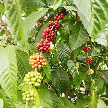 kaffeepflanze577b85898384d